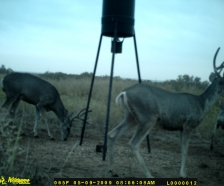 Texas Mule Deer lease or guided hunt. Hog , Whitetail , Turkey hunts also