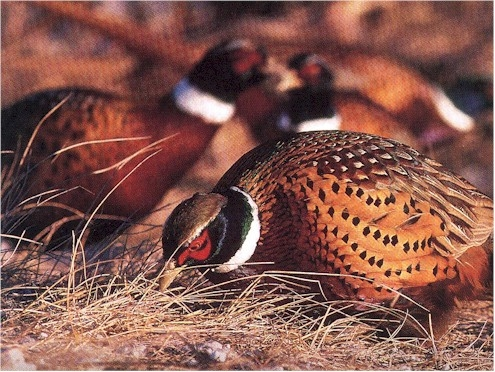 Pheasant and Chukar Packages on 130 Acres of Gorgeous New England Cover on Private Preserve featured image