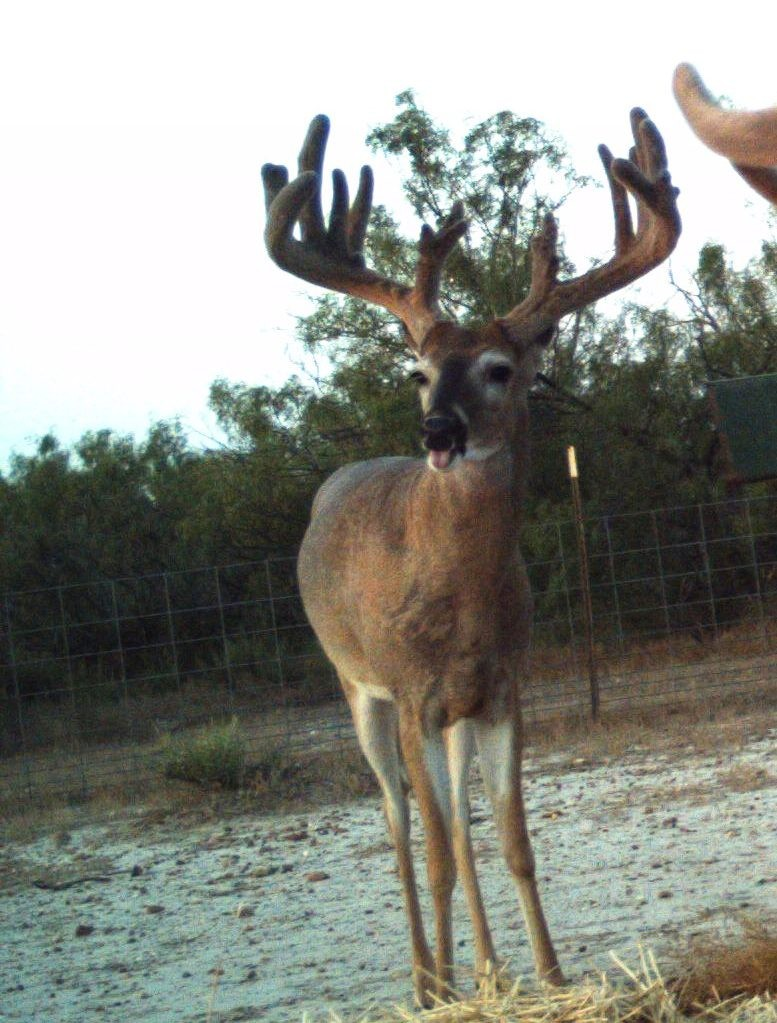 South Texas low fence lease - 180-200 inch deer featured image