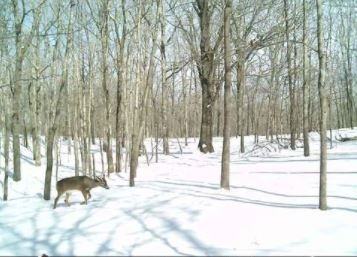 Whitetail Deer seasonal hunting lease 150 acres featured image
